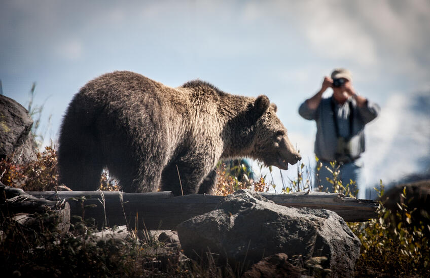 man taking photo of a bear in yellowstone national park