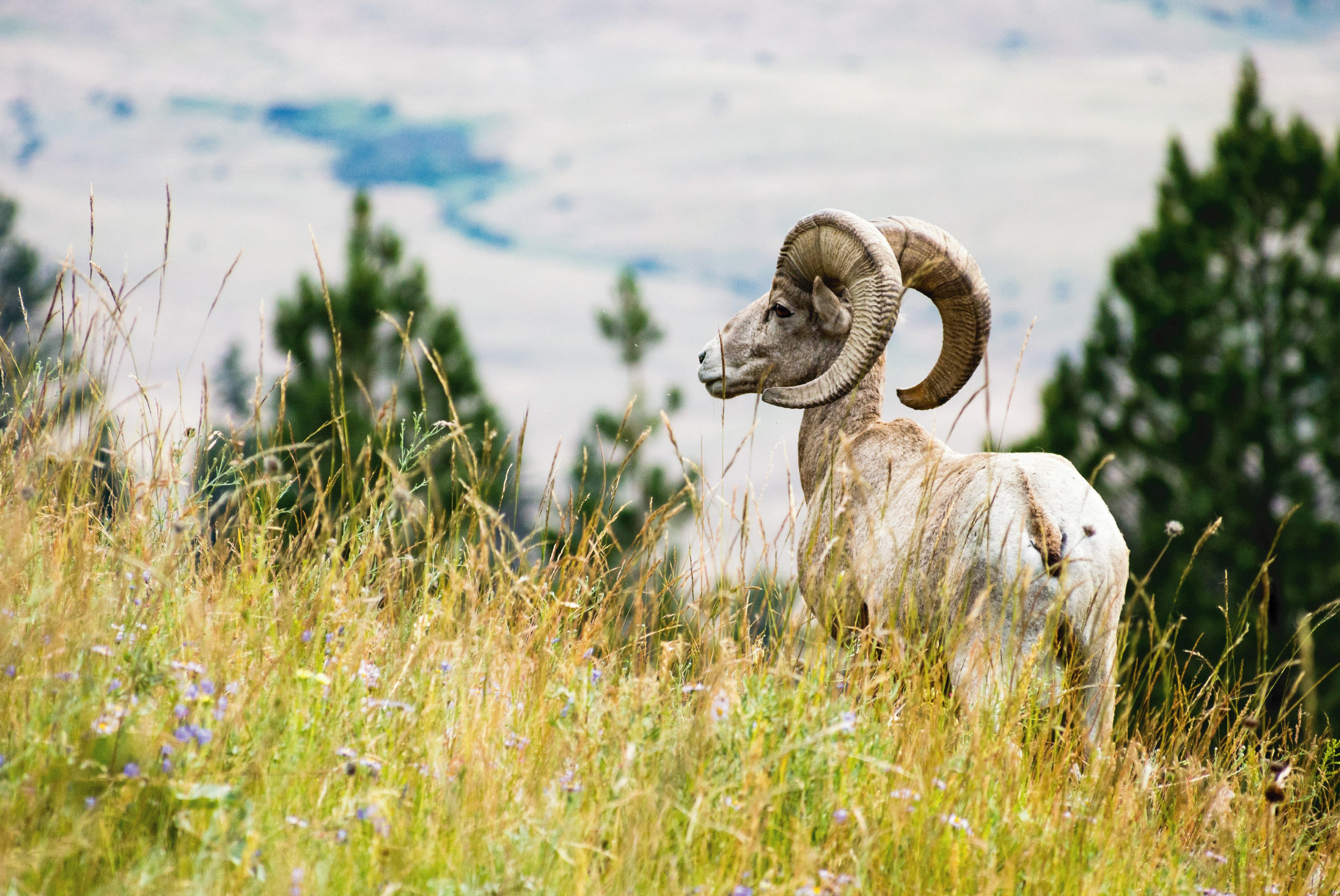 big horn sheep in montana