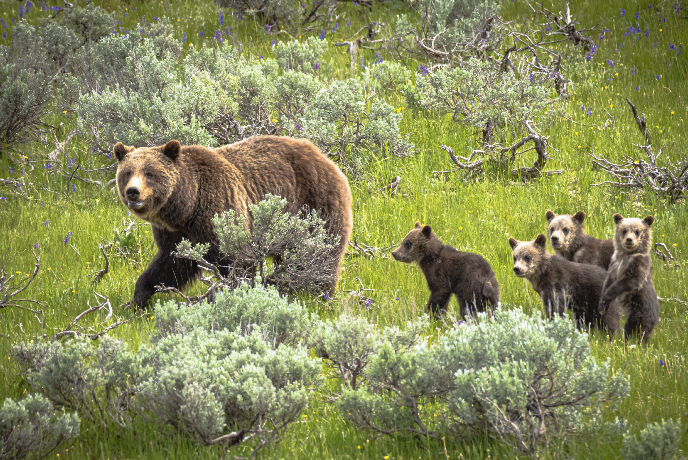 grizzly bear and cubs in yellowstone national park