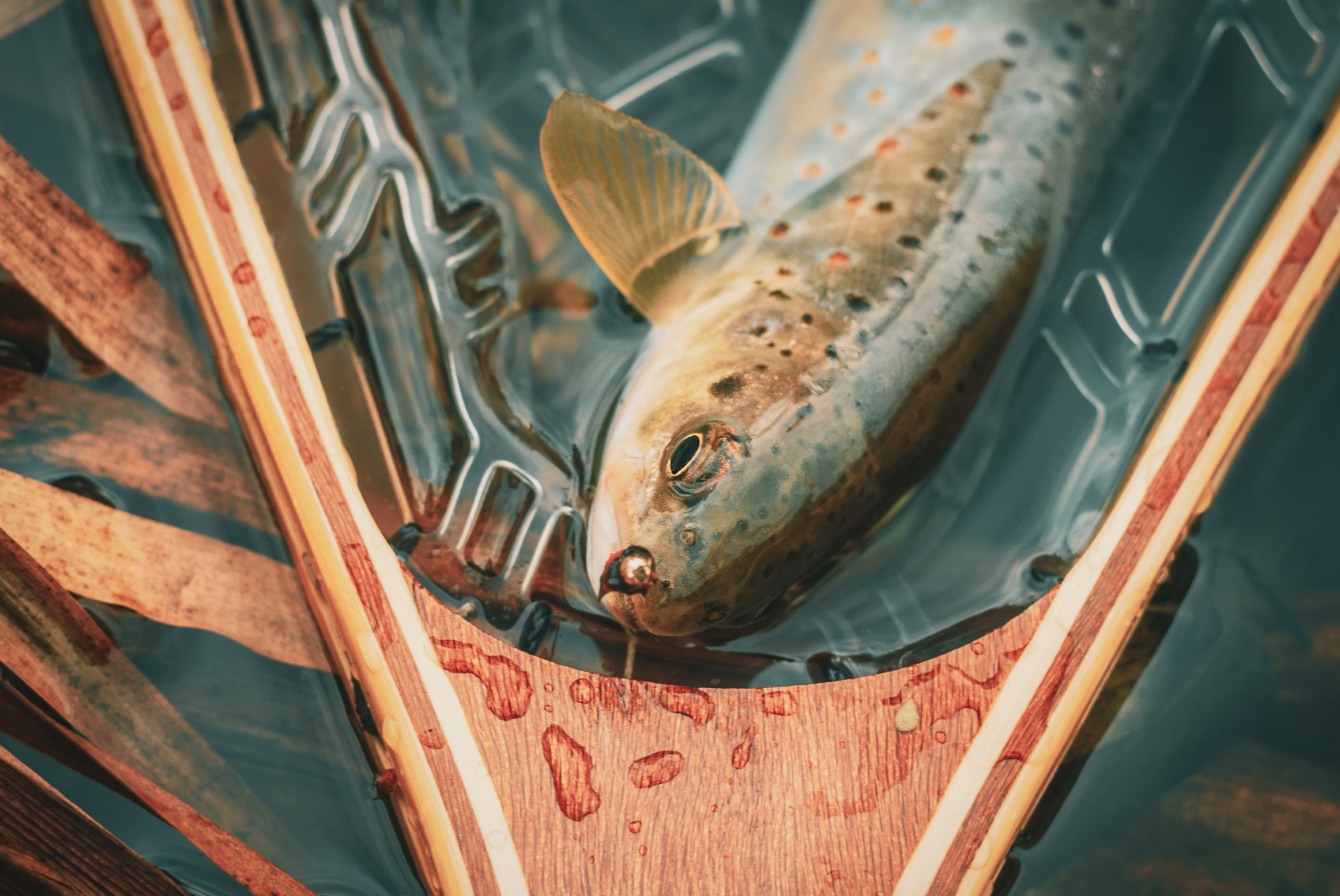 trout catch on the missouri river