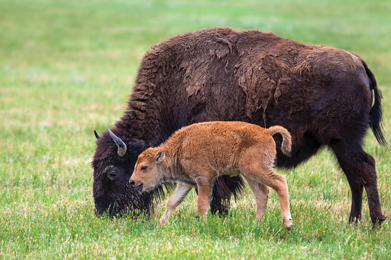 bison and a red dog calf