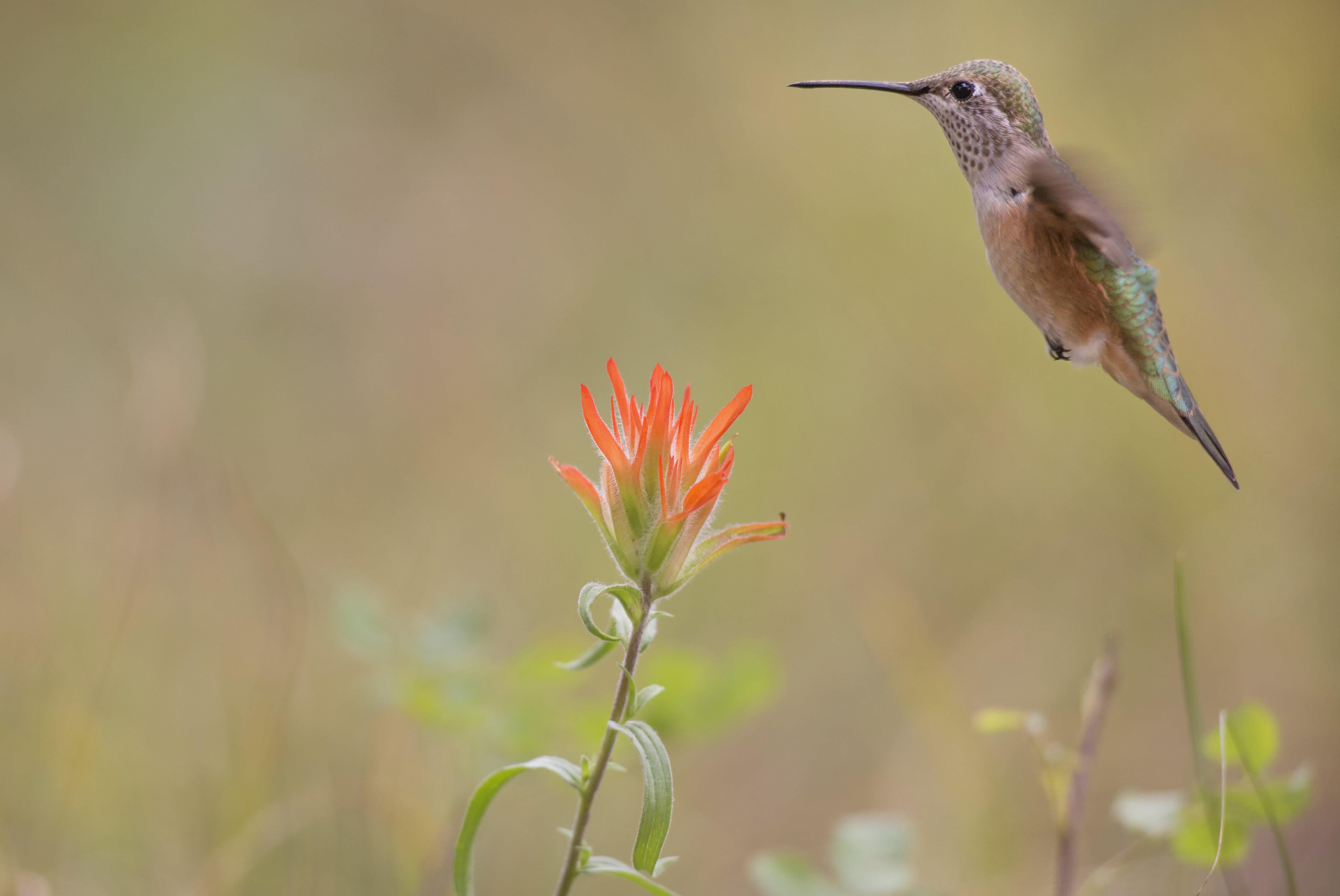 hummingbird hovering near indian paintbrush wildflower