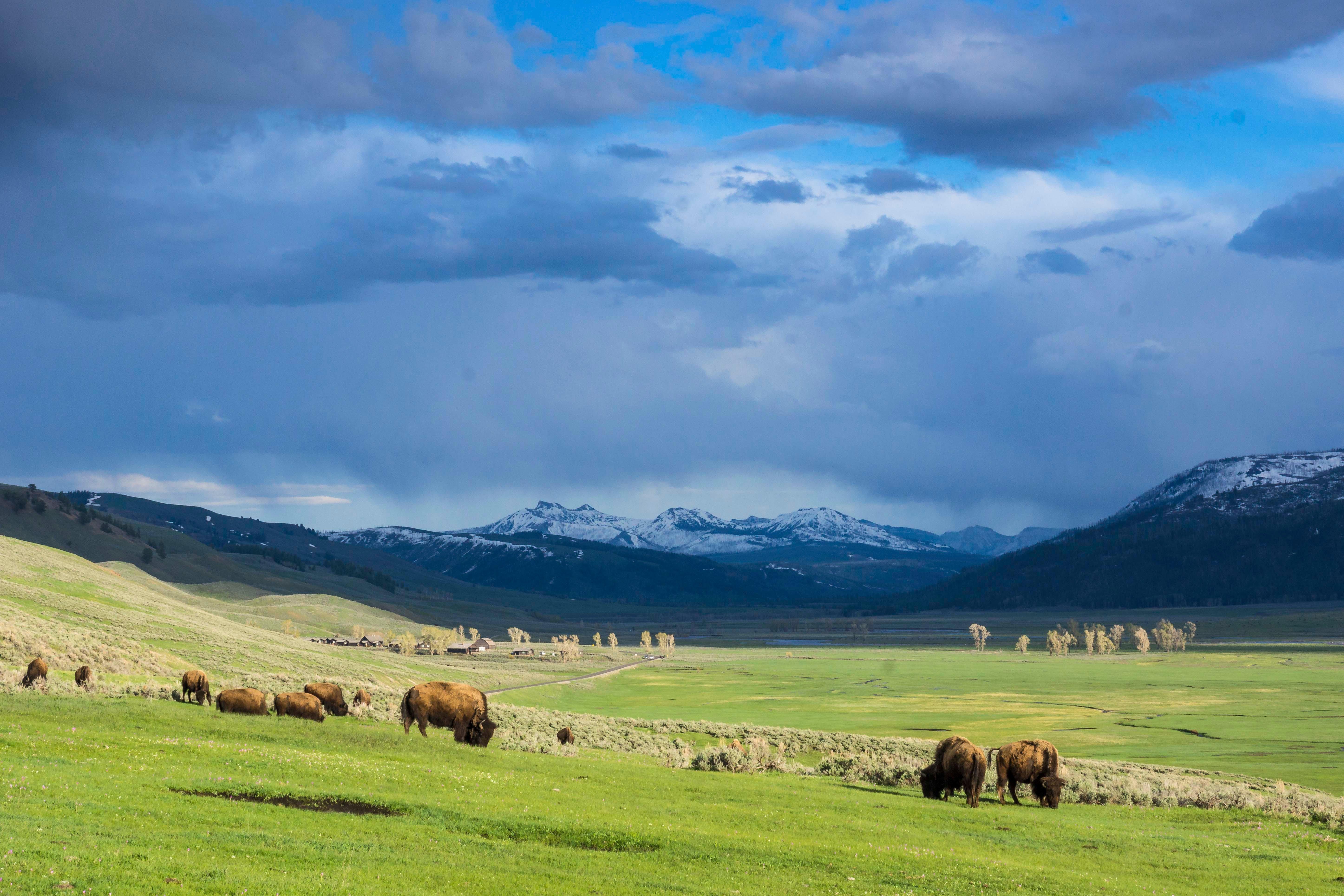bison grazing in lamar valley, yellowstone