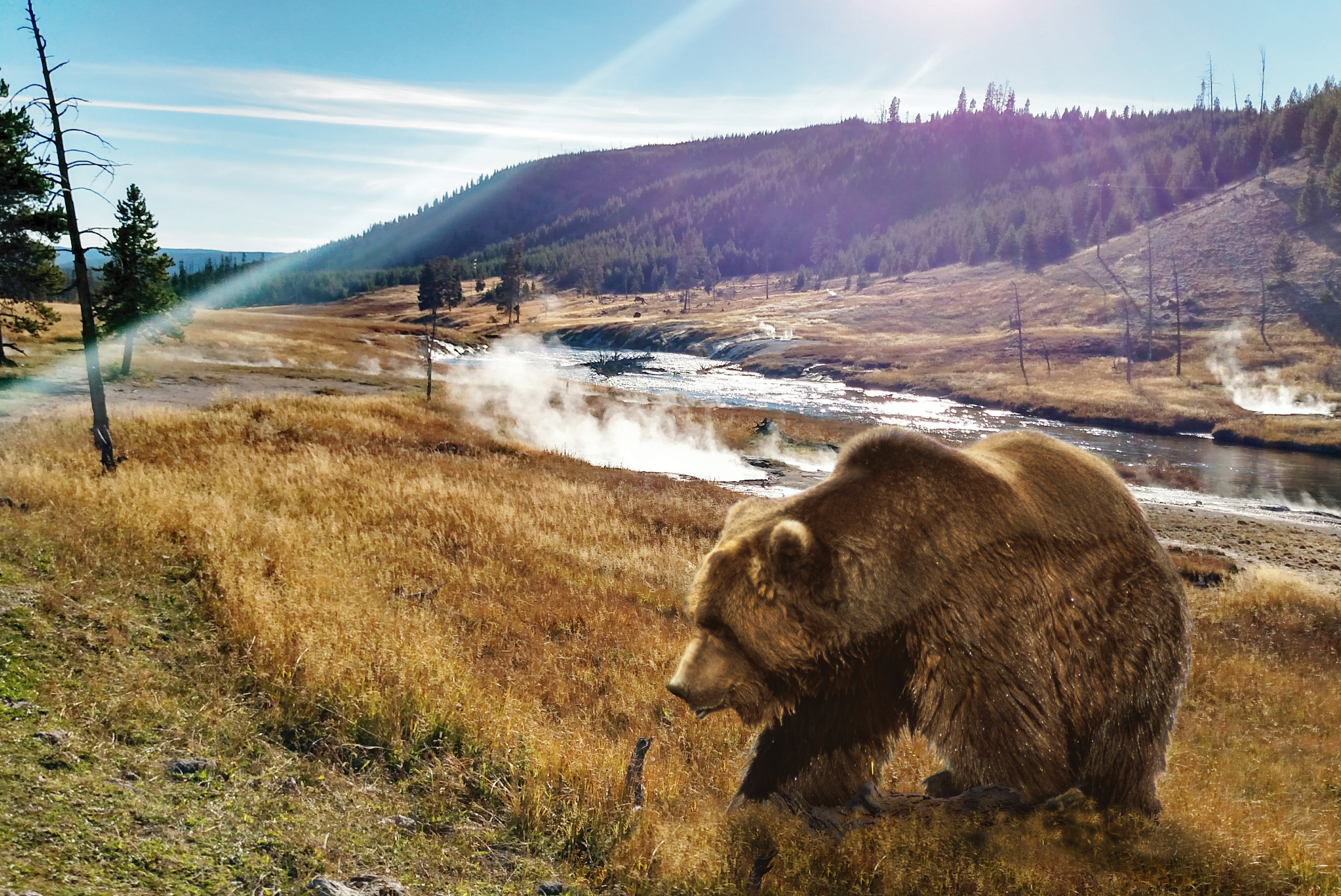 grizzly bear near hot springs on the yellowstone river