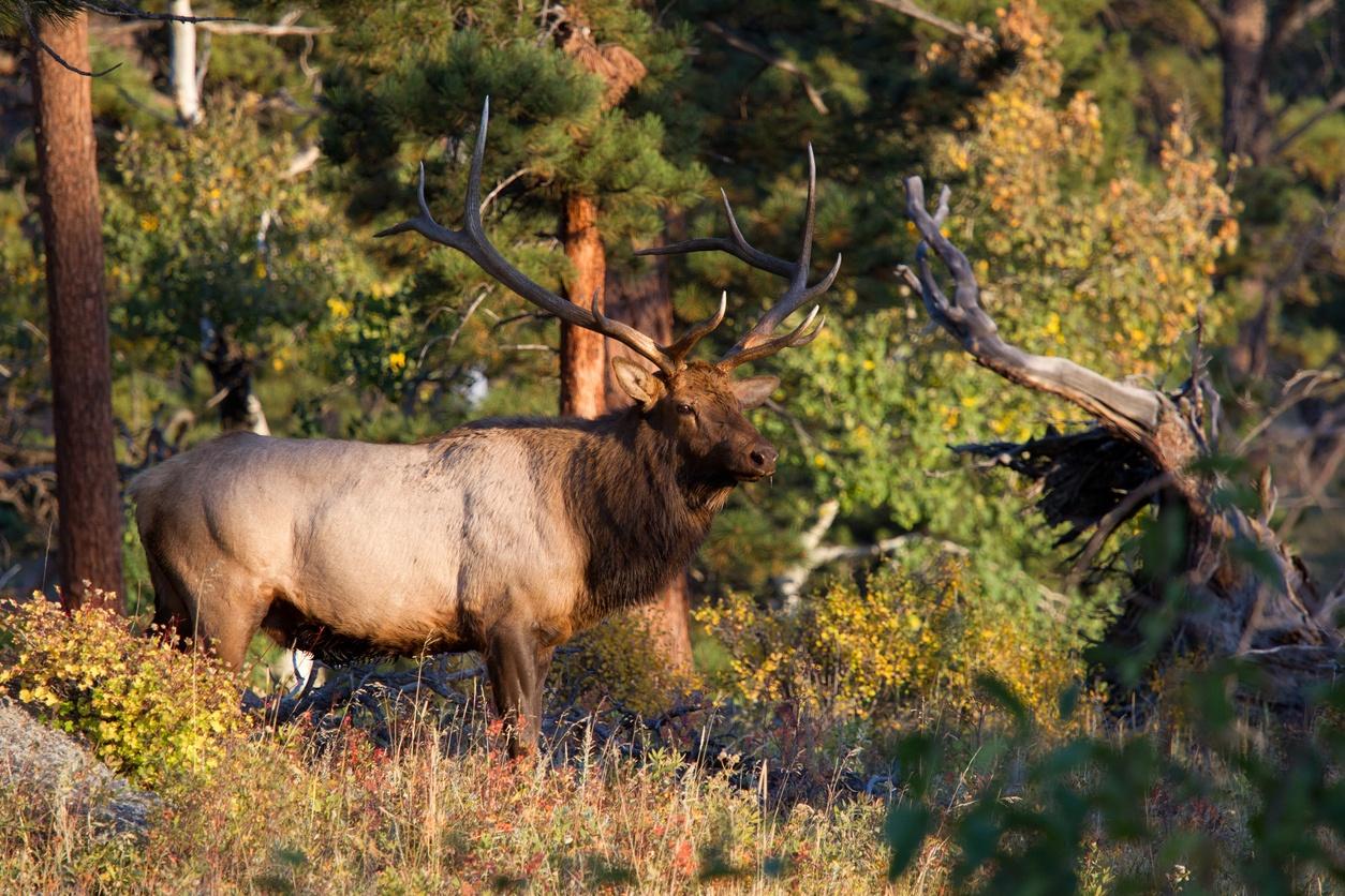Elk Hunting Near Bozeman