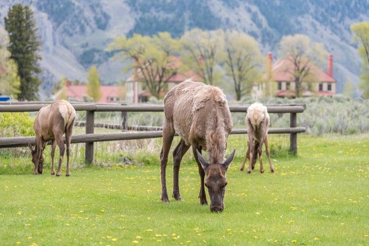 elk-yellowstone-camping.jpg