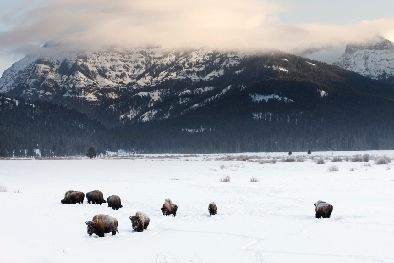 Yellowstone Winter Wildlife