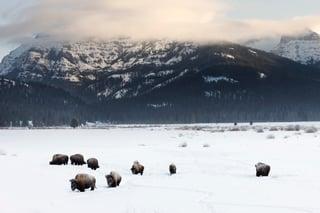 Yellowstone Winter Wildlife