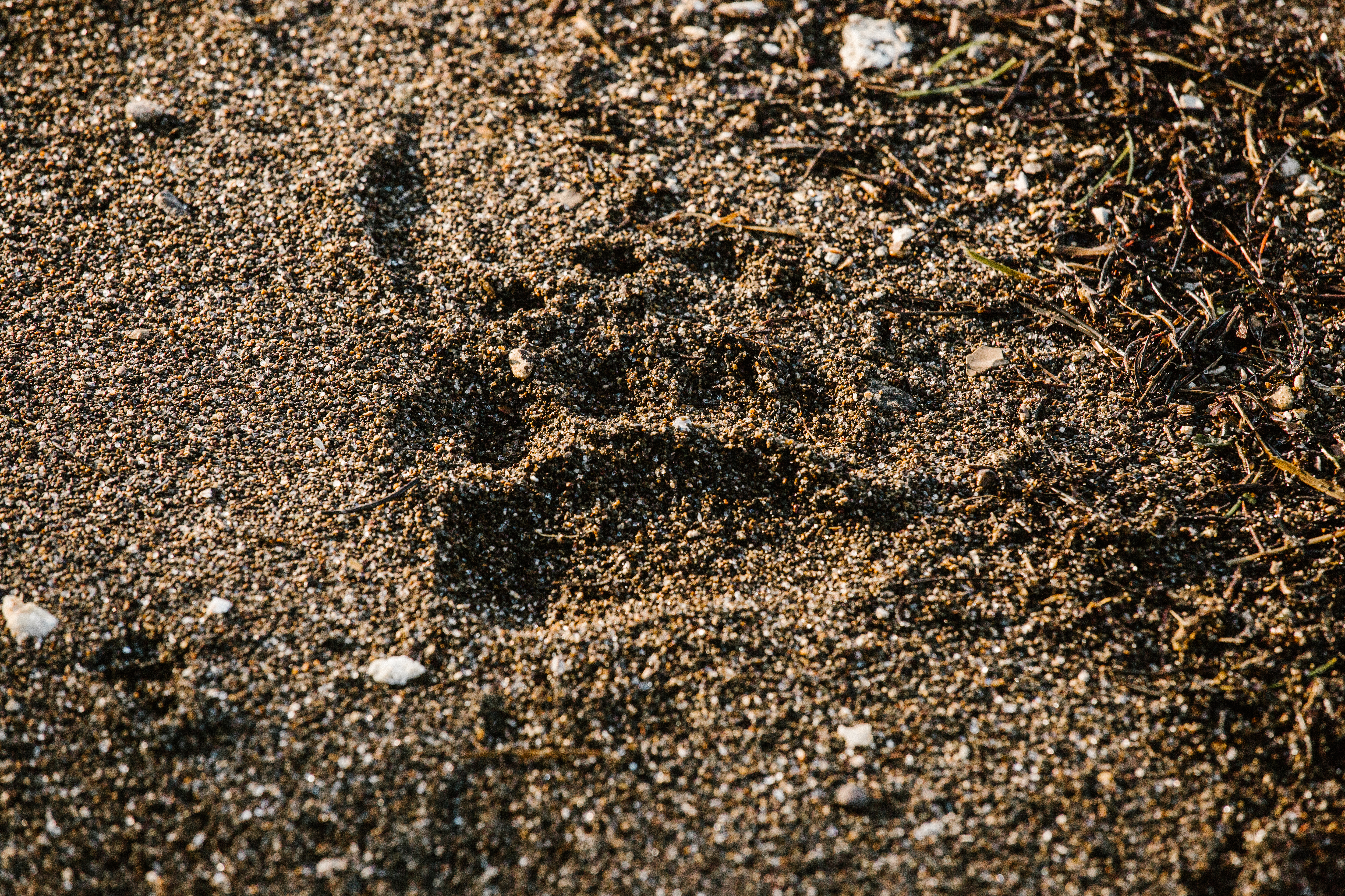 bear paw print in yellowstone national park