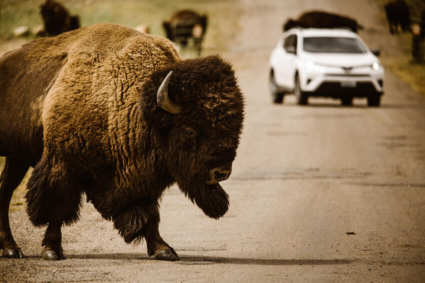 bison walking in the street in yellowstone national park