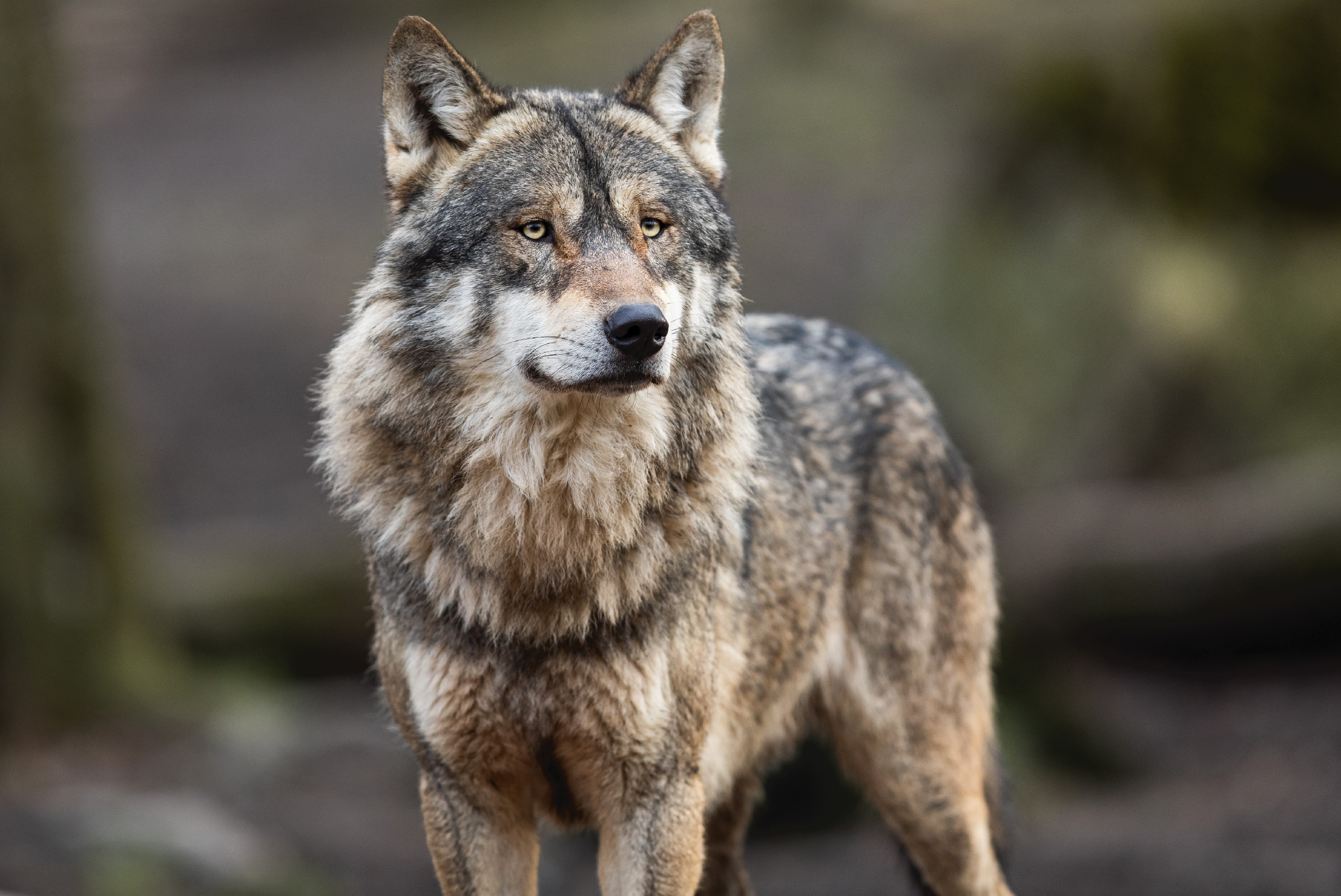 gray wolf in yellowstone national park