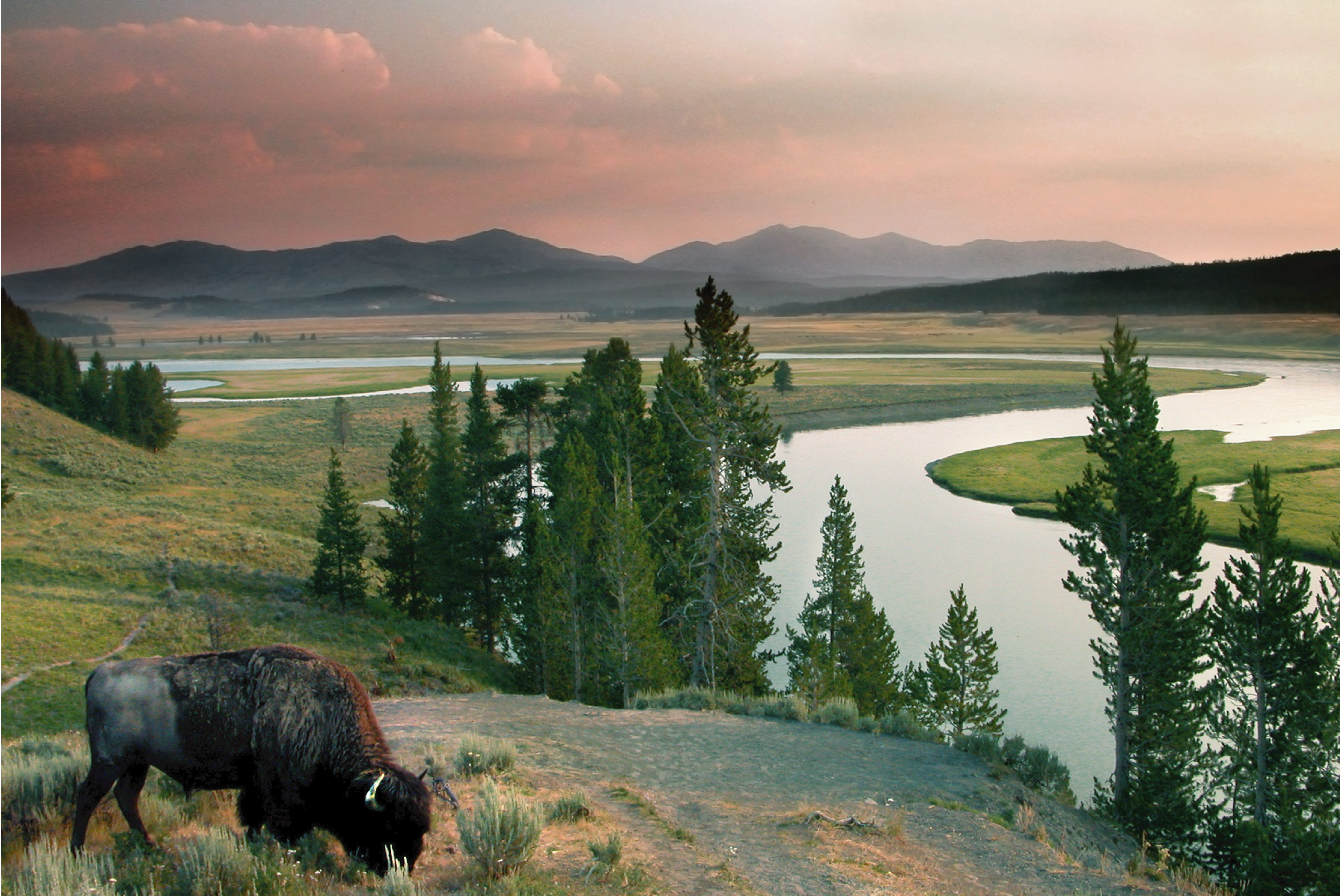 a bison feeding near the yellowstone river